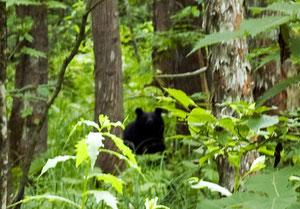 な・な・なんと下北半島の薬研渓流で、子熊を2匹連れた熊さんと目が合ってしまいました。