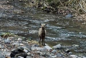 インクラの滝への途中でニホンシカの女の子に会いました。