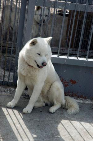 北海道犬は、ソフトバンクの「おとうさん」で有名だが、熊狩りなどでも勇敢に戦う名犬だ。あのヒグマと戦うなんて勇気のある犬だ。