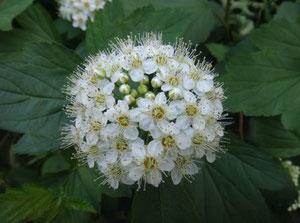 Фото 6. Фото соцветия. Показан большой перепад освещенностей