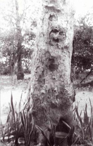 Umar Tree