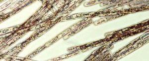海洋ラン藻生物