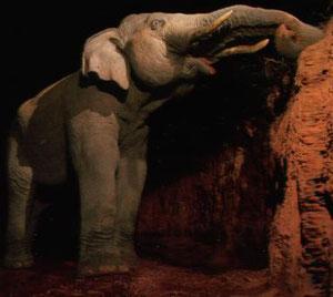 野生動物は腸内細菌のために、粘土中のSiO2を食べている?岩塩食ではありません