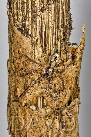 Vierfleck-Zartspinne Anyphaena accentuata
