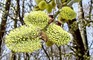 Salix caprea  Quelle: Krzysztof Ziarnek Wikimedia 2003