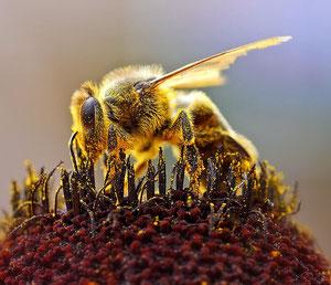 Diese verdammte Pollenallergie bringt mich noch um! [zum Vergrößern bitte anklicken] Jon Sullivan - Wikimedia 2004