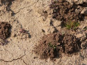 Nester von Sandbienen