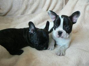 Puppies 2011 (Parents Fasolka+Running Wild)