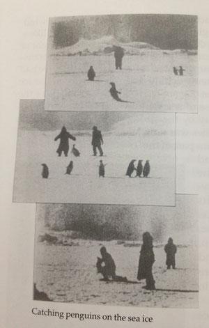 海氷の上でペンギンを捕まえる隊員