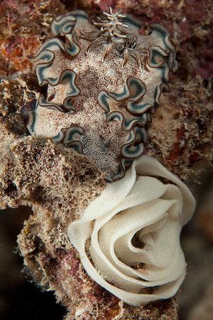 Glossodoris hikuerensis et sa ponte