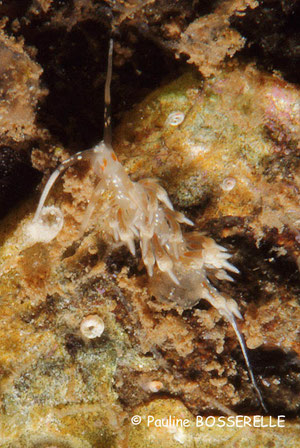Cratena sp.
