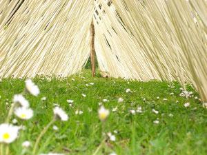 MAI - Tout juste écorcé, l'osier sèche au soleil