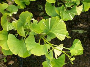 JUILLET - Ginkgo biloba variegata