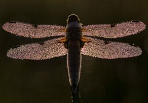 les belles libellules