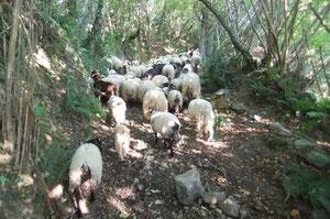Le troupeau rattrapé avec peine sur le Chemin de Houndorbe