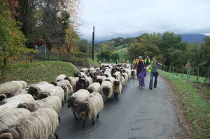 Les brebis manex du Pays Basque se sont bien acclimatées au Béarn qui s'est paré des couleurs d'automne.