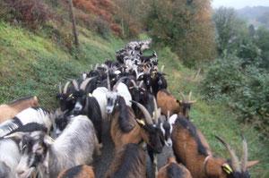 Les chèvres en ordre serré en tête de troupeau descendent tranquillement vers Bedous par la Route des Granges.