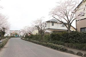 桜並木が続いています