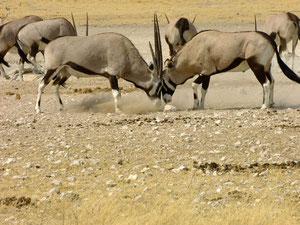 Oryxantilopen - Und ewig lockt das Weib