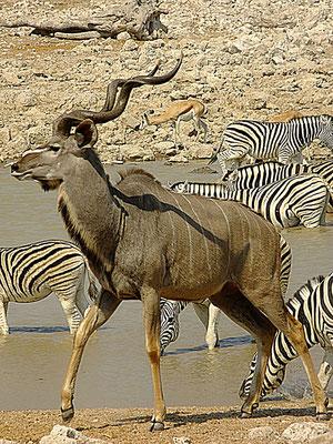 Kuduantilope