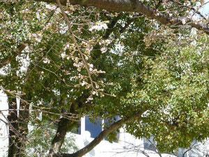 大黒町の公園の桜開き始めてます