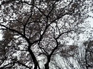 桜はやっぱり幻想的