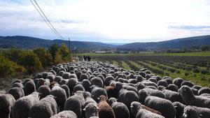 Schafswanderung von der Alm zum Hof in Limans