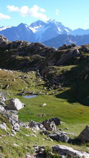 Schafsherde von Limans auf der Alm bei Briançon