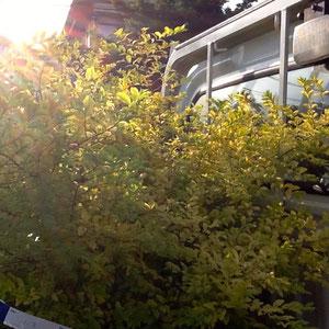 明るい葉色のプリペット・レモンアンドライム