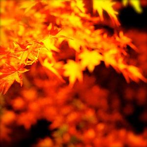 紅葉のきれいな樹木①