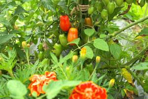 トマト+マリーゴールド