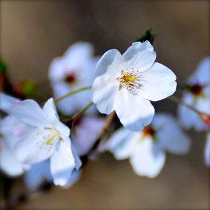 春に花がきれいな樹木