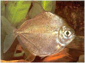 """A este pez también le dicen """"piraña vegetariana"""". La variedad que tenemos actualmente es la más linda, la """"maculatus"""". Tiene lunares en todo su cuerpo. Acuario MULTICONCEPTOS, en pleno centro de Monteviedeo. Es de cardúmen. En existencia a mayo de 2014.."""