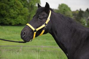 Ich bin Blacky, ein New Forest Pony, geboren 1988