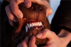 показ зубов собаки