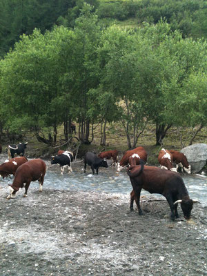 帰りに牛の大群に会いました。