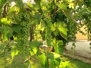 そうそう、ブドウの木が庭に増えてました。実がずっしりなってた。秋には食べられるかな?