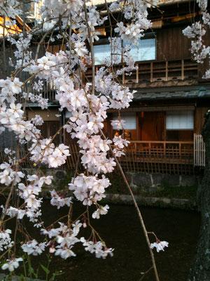 京都の早咲き桜
