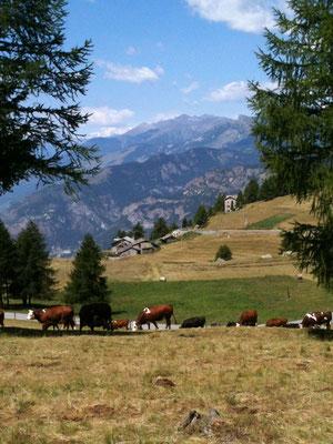 牛の群れに遭遇