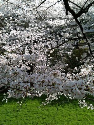 今年も日本で桜を見ることができた!