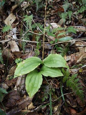 コクラン(黒蘭)の葉
