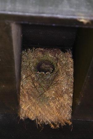 #8 幼鳥の嘴が3つ見えたがピィとも鳴かない