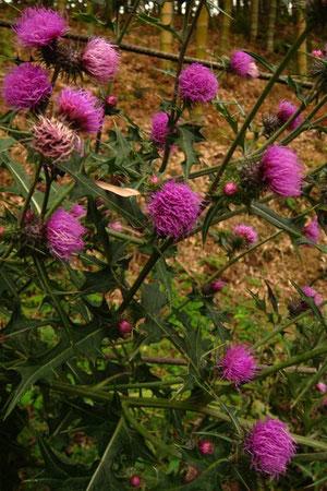 アザミの仲間 花の色が濃い