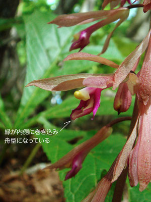 サイハイラン 2009.06.27 長野県 菅平高原