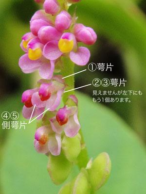 ヒナノキンチャクの花の構造(萼片、側萼片) 2010.08.29 岐阜県