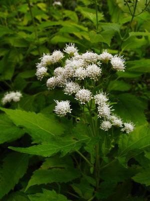 マルバフジバカマ(帰化植物)