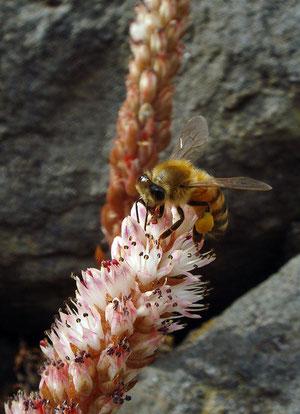 セイヨウミツバチかな? 足にたくさん花粉をつけています