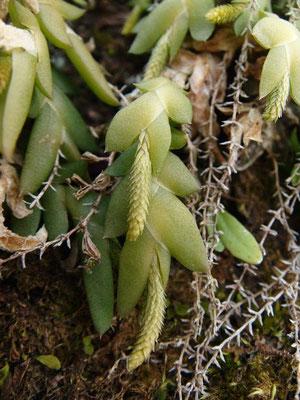 2012.04.08 高尾山 花穂の長さは8mmほどか