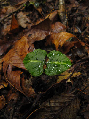 アオフタバランの葉