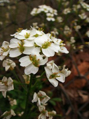 モイワナズナの花